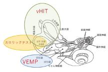 (図1: 内耳の解剖)